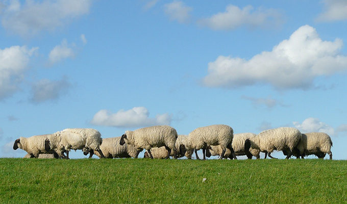Wie in einer Herde Schafe folgen Käufer den Kundenbewertungen vollkommen Fremder.